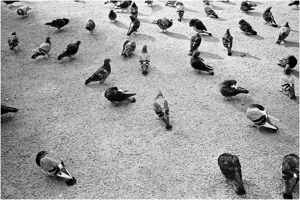 black and white image of pidgeons